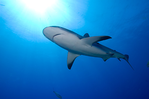 FSH 04 WF0002 01 © Kimball Stock Caribbean Reef Shark Swimming Underwater