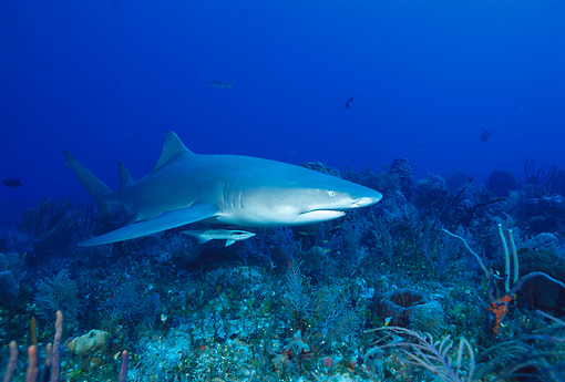 FSH 04 JM0005 01 © Kimball Stock Lemon Shark   Bahamas