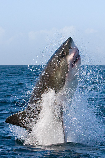 Great White Shark Jumping Out Of Ocean | Kimballstock