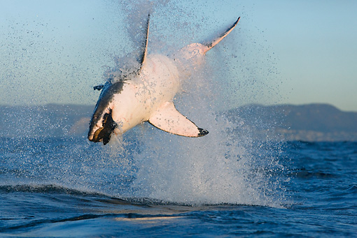FSH 04 KH0005 01 © Kimball Stock Great White Shark Jumping Out Of Ocean Grabbing Seal