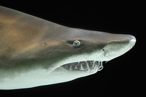 FSH 04 TL0002 01 © Kimball Stock Grey Nurse Shark (aka Sand Tiger Shark) Swimming Profile View
