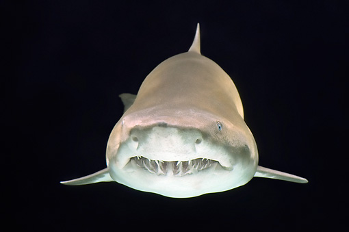 FSH 04 TL0003 01 © Kimball Stock Grey Nurse Shark (aka Sand Tiger Shark) Swimming Profile View