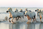 HOR 01 AC0003 01 © Kimball Stock Herd Of Camargue Horses Galloping Through Water