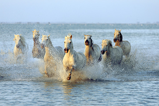 HOR 01 AC0005 01 © Kimball Stock Herd Of Camargue Horses Galloping Through Water