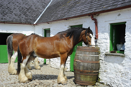HOR 01 AC0027 01 © Kimball Stock Shire Horse Drinking From Barrel At Open-Air Museum Muckross, Ring Of Kerry, Killarney National Park, County Kerry, Ireland