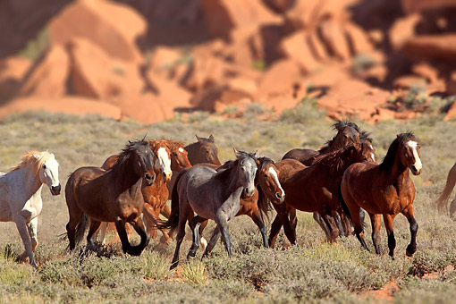HOR 01 AC0029 01 © Kimball Stock Mustangs Galloping Through Desert Brush In Monument Valley, Utah, USA