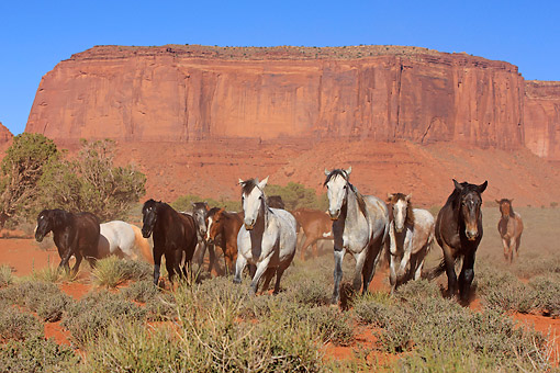 HOR 01 AC0030 01 © Kimball Stock Mustangs Galloping Through Desert Brush In Monument Valley, Utah, USA