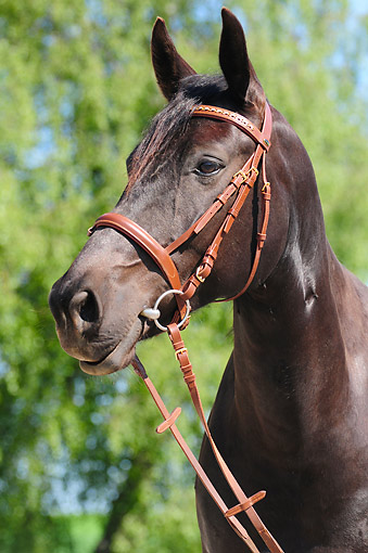 HOR 01 AC0039 01 © Kimball Stock Thoroughbred Horse Portrait