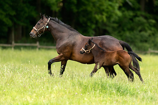 HOR 01 AC0043 01 © Kimball Stock Purebred Race Horse And Foal Walking In Germany
