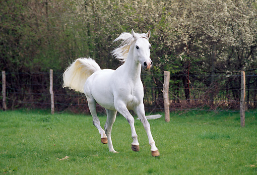 HOR 01 GL0002 01 © Kimball Stock Thoroughbred White Arabian Horse Cantering In Pasture