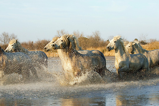 HOR 01 GL0026 01 © Kimball Stock Herd Of Camargue Horses Galloping Through Swamp Saintes Marie De La Mar, France