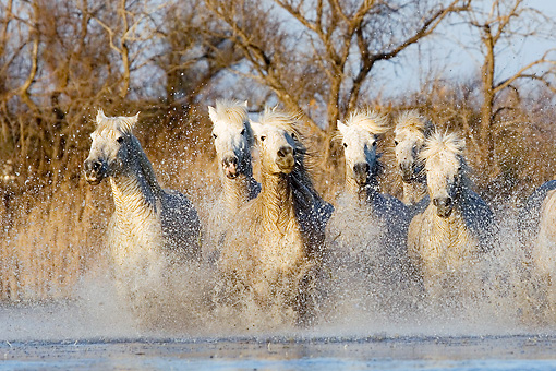 HOR 01 GL0027 01 © Kimball Stock Herd Of Camargue Horses Galloping Through Swamp Saintes Marie De La Mar, France