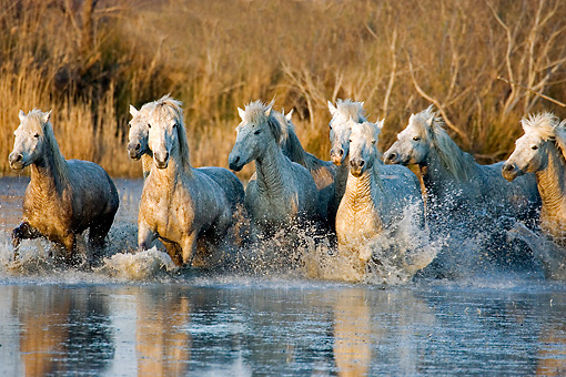 HOR 01 GL0028 01 © Kimball Stock Herd Of Camargue Horses Galloping Through Swamp Saintes Marie De La Mar, France