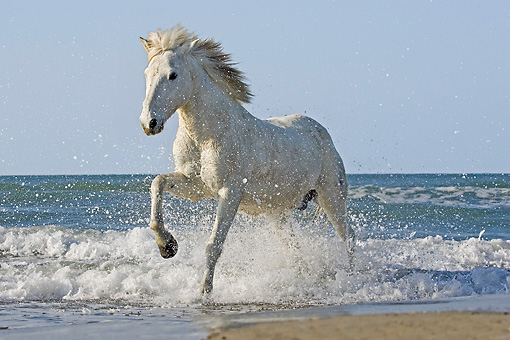 HOR 01 GL0029 01 © Kimball Stock Camargue Horse Galloping On Beach Saintes Marie De La Mar, France