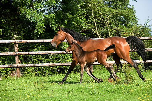 HOR 01 GL0031 01 © Kimball Stock French Trotter Mare With Foal Trotting In Paddock Normandy