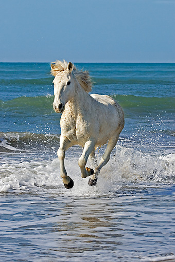 HOR 01 GL0032 01 © Kimball Stock Camargue Horse Galloping On Beach In Saintes Marie De La Mar, France