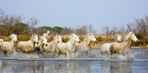 HOR 01 GL0033 01 © Kimball Stock Camargue Horse Galloping Through Swamp In Saintes Marie De La Mar, France