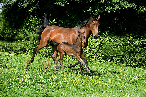 HOR 01 GL0043 01 © Kimball Stock French Trotter Horse Mare And Foal Trotting Through Meadow Normandy