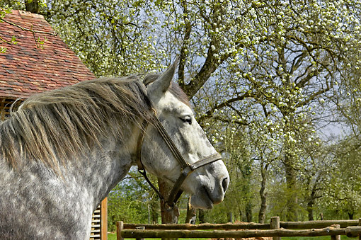 HOR 01 GL0051 01 © Kimball Stock Percheron Draft Horse Portrait In Pasture
