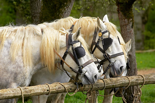 HOR 01 GL0052 01 © Kimball Stock Percheron Draft Horses Portrait In Pasture
