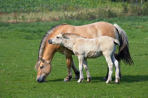 HOR 01 GL0055 01 © Kimball Stock Norwegian Fjord Horse Mare And Foal Standing In Grass