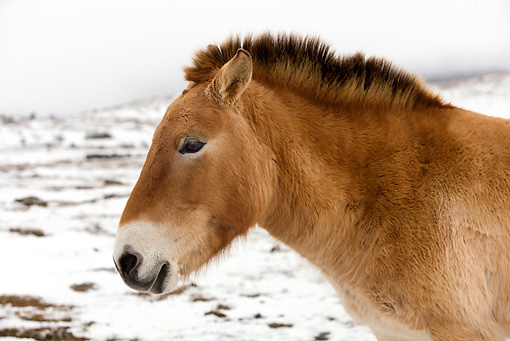 HOR 01 JE0001 01 © Kimball Stock Head Shot Of Przewalski's Horse Standing In Snowy Field