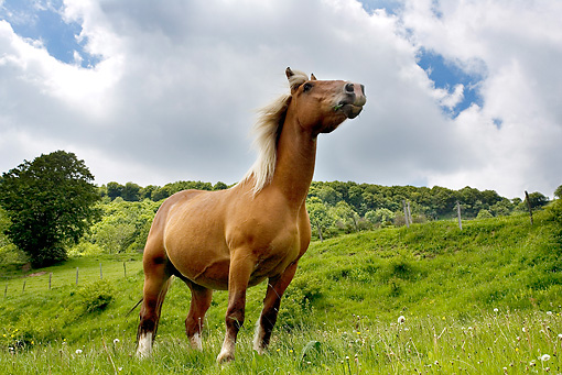 HOR 01 JE0002 01 © Kimball Stock Auvergne Comtois Draft Horse Standing In Field