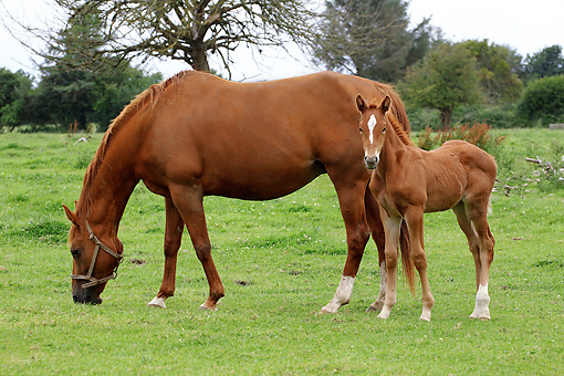 HOR 01 JE0007 01 © Kimball Stock Chestnut Mare And Foal Grazing In Pasture