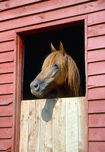 HOR 01 JN0001 01 © Kimball Stock Brown Horse Peeking Head Out Of Stable