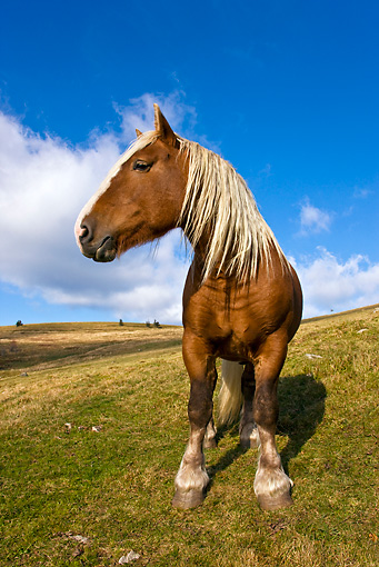 HOR 01 KH0163 01 © Kimball Stock Comtois Draft Horse Stallion Standing On Pasture