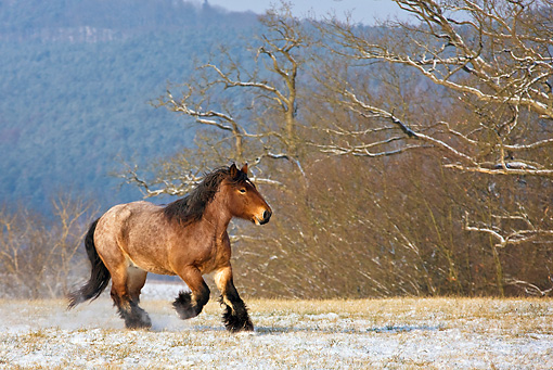 HOR 01 KH0167 01 © Kimball Stock Dappled Bay Ardennes Draft Horse Galloping In Snowy Meadow