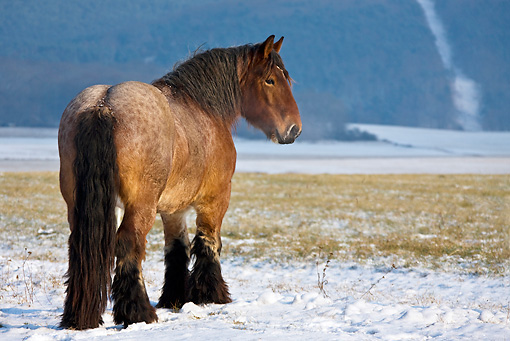 HOR 01 KH0168 01 © Kimball Stock Dappled Bay Ardennes Draft Horse Standing In Snowy Meadow
