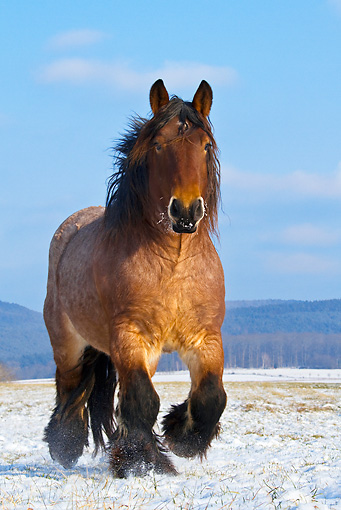 HOR 01 KH0171 01 © Kimball Stock Dappled Bay Ardennes Draft Horse Walking In Snowy Meadow
