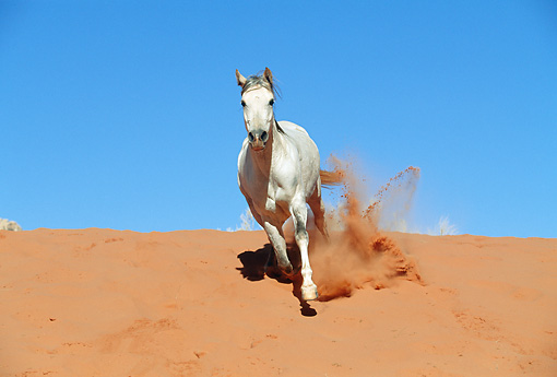 HOR 01 KH0174 01 © Kimball Stock Arabian Horse Galloping Through Red Dirt
