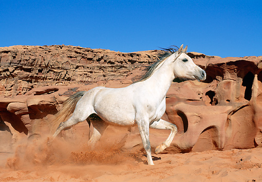 HOR 01 KH0175 01 © Kimball Stock Arabian Horse Galloping Through Red Sand Dunes Profile