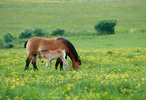 HOR 01 KH0177 01 © Kimball Stock Ardennes Draft Horse Mare And Foal Grazing In Pasture