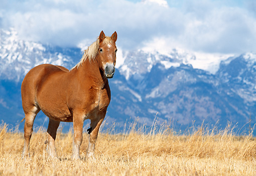 HOR 01 KH0180 01 © Kimball Stock Belgian Horse Standing In Field With Snowy Mountains In The Background