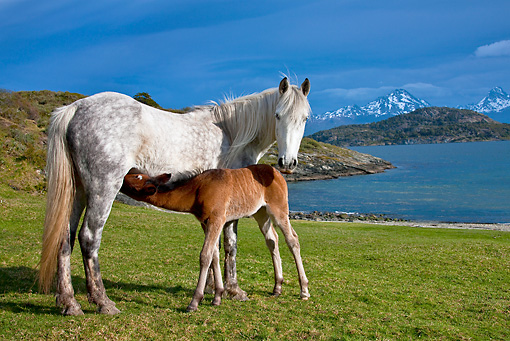 HOR 01 KH0184 01 © Kimball Stock Criollo Foal Suckling Mare On Grass By Bay Tierra Del Fuego National Park, Argentina