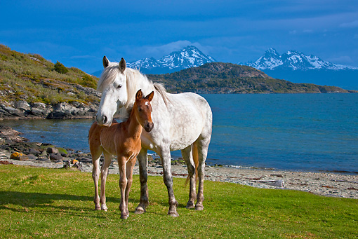 HOR 01 KH0185 01 © Kimball Stock Criollo Mare And Foal Standing On Grass By Bay Tierra Del Fuego National Park, Argentina