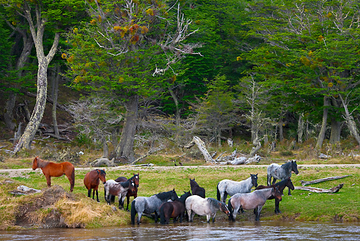 HOR 01 KH0186 01 © Kimball Stock Group Of Wild Criollo Horses Drinking From River Tierra Del Fuego National Park, Argentina