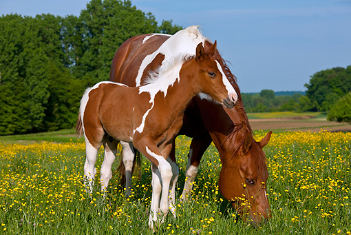 HOR 01 KH0187 01 © Kimball Stock Paint Quarter Horse Mare And Colt Grazing In Spring Meadow France