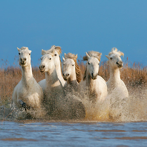 HOR 01 KH0190 01 © Kimball Stock Herd Of Camargue Horses Galloping Through Swamp France