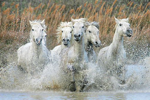 HOR 01 KH0191 01 © Kimball Stock Herd Of Camargue Horses Galloping Through Swamp France