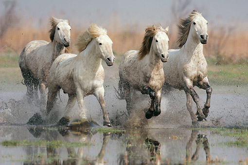 HOR 01 KH0194 01 © Kimball Stock Herd Of Camargue Horses Galloping Through Swamp France