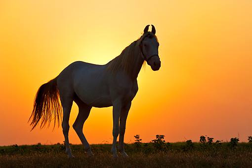 HOR 01 KH0204 01 © Kimball Stock Silhouette Of Kathiawari Horse Standing In Pasture At Sunset Gujarat Province, India