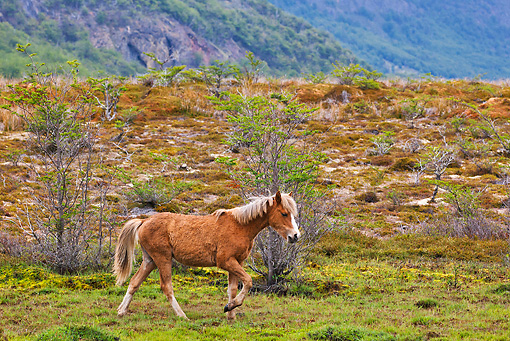 HOR 01 KH0206 01 © Kimball Stock Chestnut Criollo Yearling Trotting Through Mountains In Patagonia, Argentina