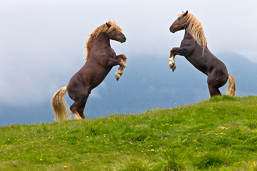HOR 01 KH0209 01 © Kimball Stock Two Noriker Stallions Fighting On Pasture In Austria