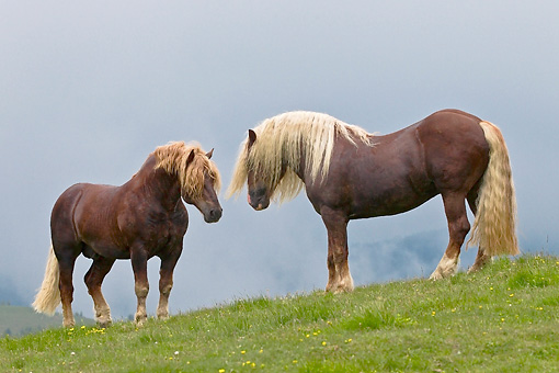 HOR 01 KH0210 01 © Kimball Stock Two Noriker Stallions Facing Each Other On Pasture Before Fighting In Austria