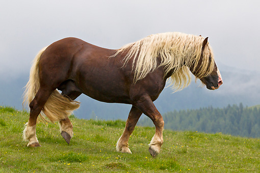 HOR 01 KH0212 01 © Kimball Stock Noriker Stallion Walking Through Pasture In Austria
