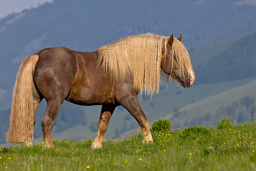 HOR 01 KH0217 01 © Kimball Stock Noriker Stallion Walking Through Pasture In Austria